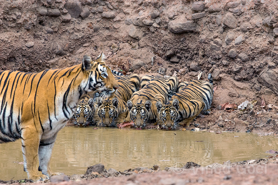 Tiger-mother-with-cubs